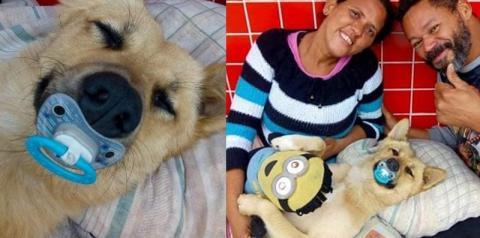Cão mimado de SP dorme com chupeta, travesseiro e ursinho