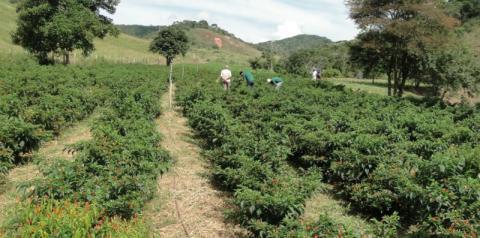 Pimenta malagueta pode ajudar no controle de pragas na lavoura
