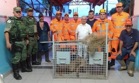 Onça-parda é capturada dentro de escola em Ipatinga; 'caça' ao animal durou mais de 11 horas