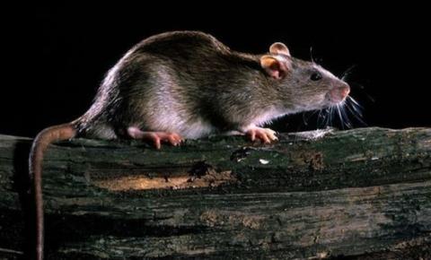 Chuvas no Leste de Minas elevam risco de contágio por leptospirose