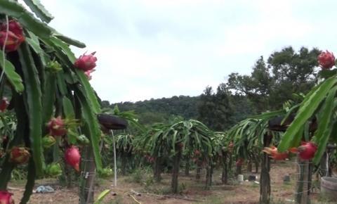 Você já ouviu falar da Fruta Dragão? Cultivo de Pitaya tem se tornado fonte de renda para produtor em Caratinga