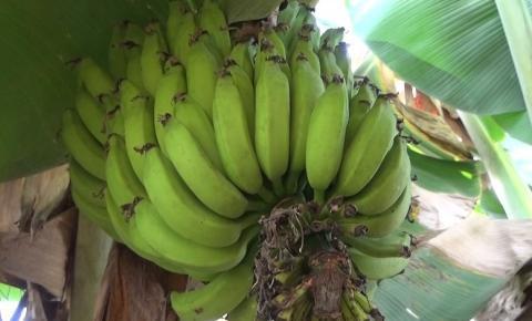 Sebrae promove seminário gratuito sobre produção de banana